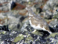 This is one of a group of White-tailed Ptarmigan that greeted us at the summit.