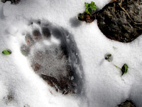 This back footprint of a Black Bear looked pretty fresh, but I never did run into the owner luckily!