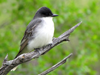 Eastern Kingbird's are a fearless bird that sit on an open perch waiting to fly out and catch insects right out of the air.