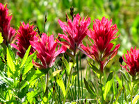 Indian Paintbrush also made for a pleasant journey and are one of my favorite alpine plants.