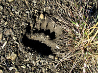 I believe this is a Grizzly Bear print as the toes are close together, but I am not 100% sure.