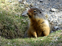 This agitated Columbian Ground Squirrel squeaked at me as I headed back to my vehicle.