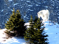 This Rocky Mountain Goat appeared less than 50 feet away from me as I topped out on the ridge. Unfortunately my camera lens was fogged until he was quite a distance away, so this is my best shot.
