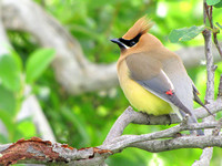 "This Cedar Waxwing shows the aspect of its plumage from which it received its name. I always thought that the blending of their colors makes them look ""airbrushed."""