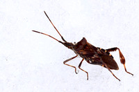 I found this bizarre Western Conifer Seed Bug sitting motionless on top of the snow.