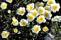 This cluster of White Mountain Avens brightened up the barren ridge.