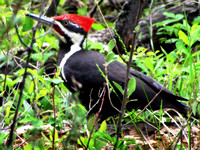 Pileated Woodpeckers are more often heard than seen, so I felt very privelaged to see this one so close. It was eating carpenter ants out of dead trees on the forest floor.