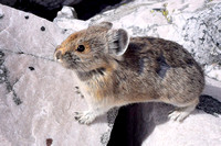 "Pikas are the cutest of all the alpine creatures in the Rockies. Their ""EEP!"" warning call can be heard for quite a distance."