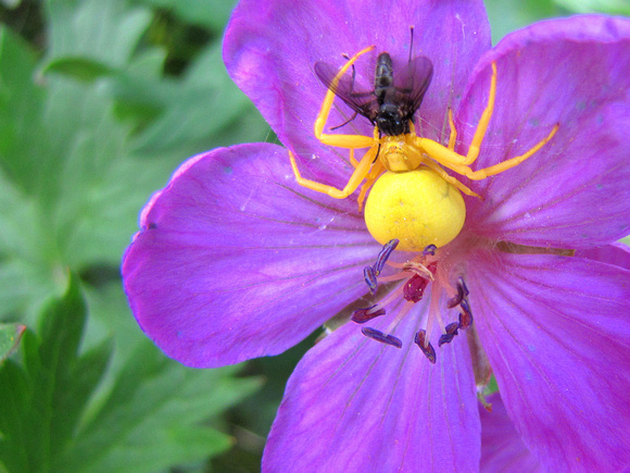 This Goldenrod Spider has just caught a fly by waiting motionless in the centre of a Sticky Purple Geranium. These spiders can change their color to white over the period of two days.