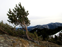 Limber Pines are a trademark of this area of the Highwood and often attest to the constant winds here.