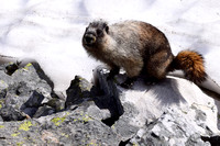 There were numerous Hoary Marmots near the pass. This one came close to us to investigate where someone had relieved themselves. We speculated it could somehow sense the salt.