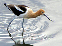 American Avocets are extremely elegant shorebirds and a personal favorite of mine. I am pretty sure that this one is a male because of the less pronounced curve in the bill.