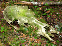Finding this moss-covered Moose skull was definitely one of the highlights of the day.